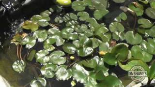 How To Shop For Pond Plants