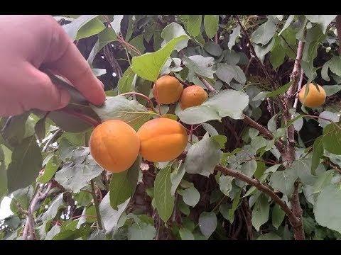 Как выглядят абрикосы под Санкт-Петербургом?