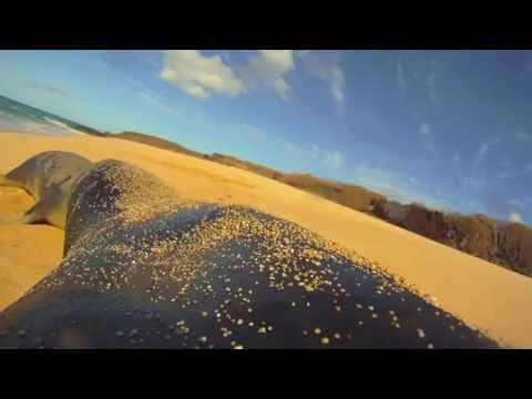 Hawaiian monk seal National Geographic crittercam footage