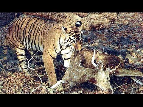 Tigre Siberiano Caza A Bebe Ciervo YouTube