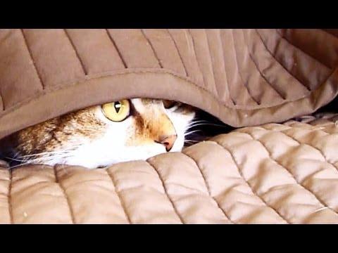 dark grey tabby cat with blue eyes