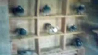 Pigeons (hen section:owner jake greene)