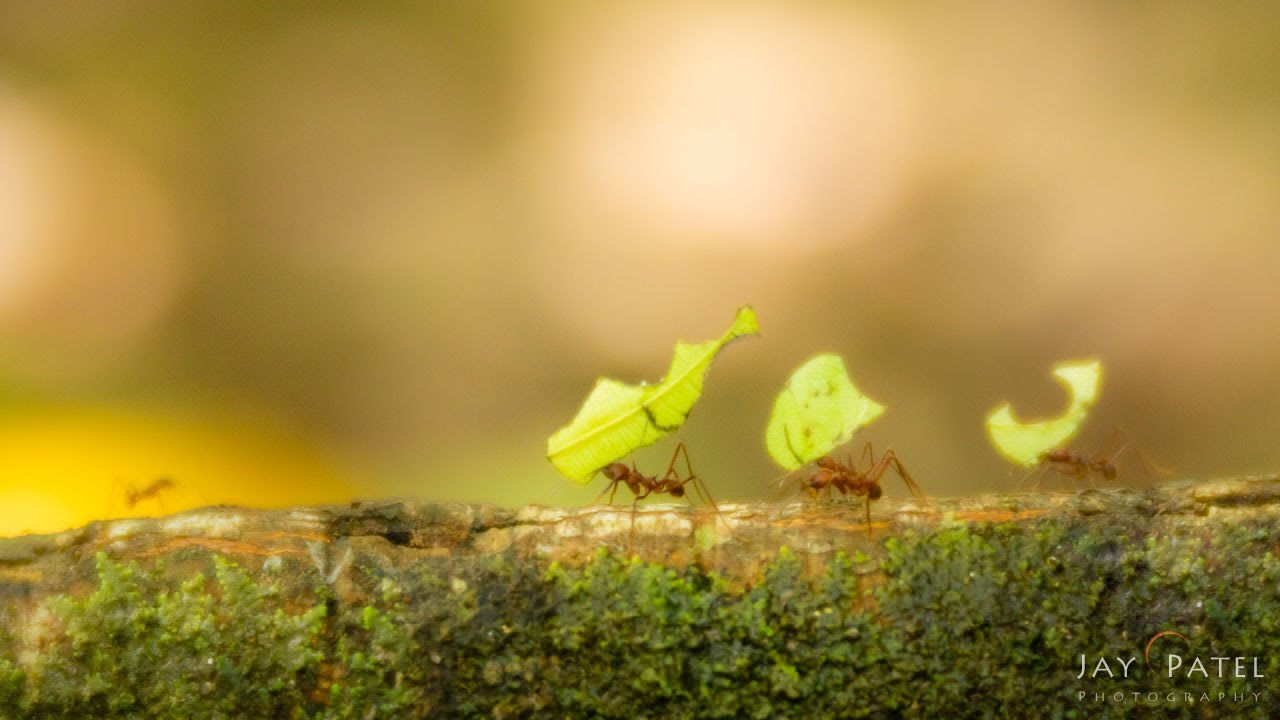 Leaf Cutter Ants with Lens Baby