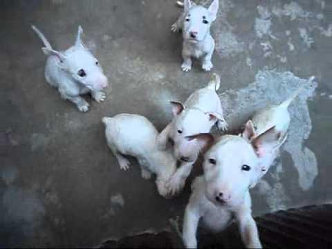 cachorros de bull terrier ingles en venta en oaxaca - YouTube