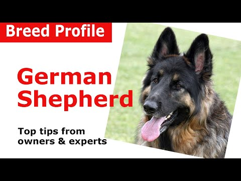 Thumbnail: German Shepherd Dog Breed Guide