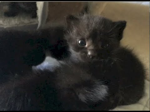 Rescue Kittens Walking Fast & Feral Cats Leaving Kittens - #12 - Feral Cat Family Socialization
