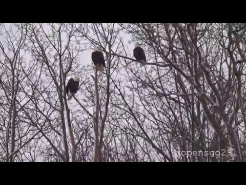 Eagle watch 2016 and halls harbour time lapse