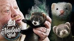 WARUM STINKT DAS FRETTCHEN? | MARDER, ILTIS UND FLEISCHFRESSER | NORBERTS WELT | Zoo Zajac