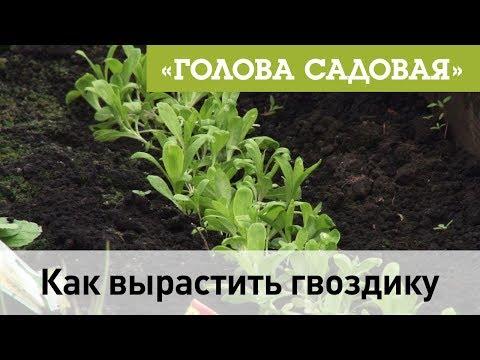 Голова садовая - Как вырастить гвоздику