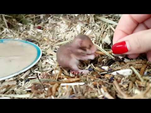13 Tage alter Hamster frisst aus der Hand