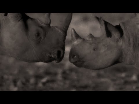 You Won't Believe What Rhinos Do At Night - Africa - BBC