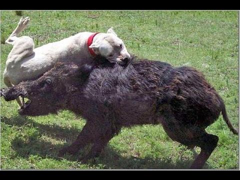 Самые сильные собаки бои видео ::