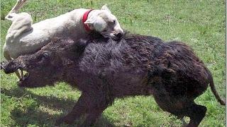 Охотничьи собаки Самые смелые породы собак! Прикольные собаки #Видео_с_животными