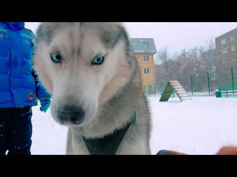 К ТАКОМУ МЕНЯ ЖИЗНЬ НЕ ГОТОВИЛА! (Хаски Бандит) Говорящая собака