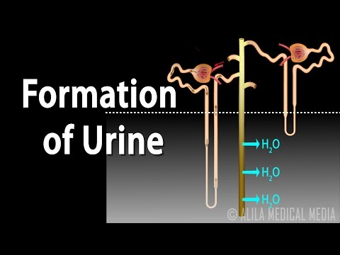 Formation of Urine - Nephron Function, Animation.