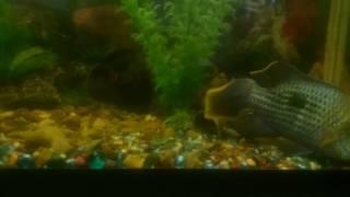 рыбки Акара самец и самец Астронотус. Fish Akara male and male Astronotus