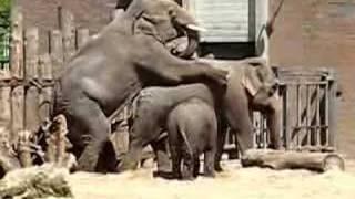 Elephant sex 1