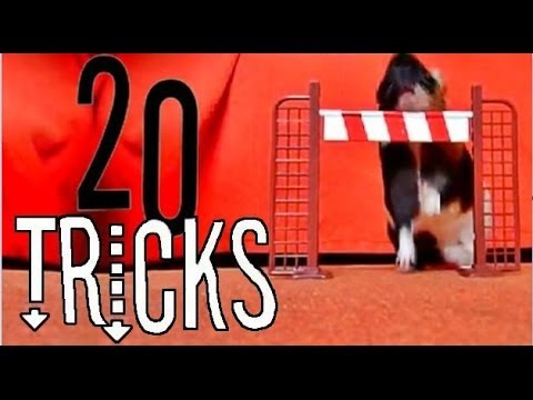 20 Amazing Dog Tricks By a Guinea Pig ! (with Stitch)