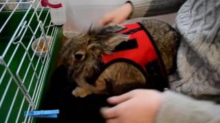 Что нужно для прогулки с декоративным кроликом? Что я беру для Буськи?
