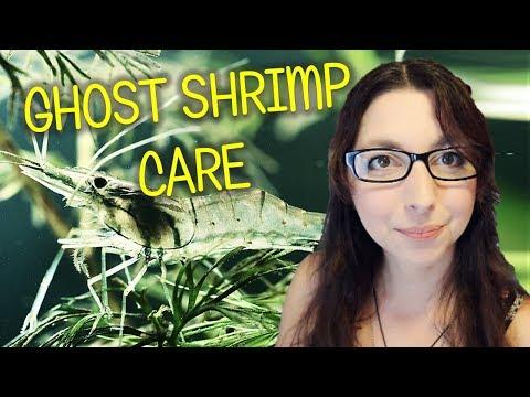 Ghost Shrimp Beginner Care Guide | Ghost Shrimp Basic Care