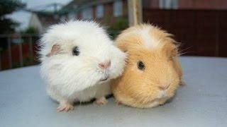 Guinea Pigs - A Funny And Cute Guinea Pig Videos Compilation    NEW HD