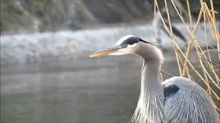 Great Blue Heron Calling