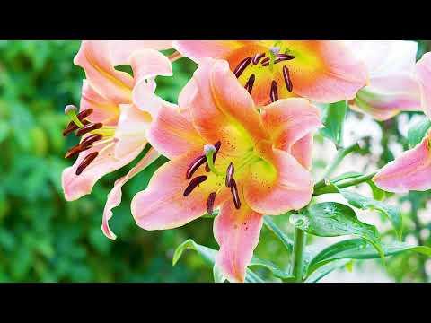 Lilien im Garten hegen, pflegen und vor Lilienhähnchen schützen