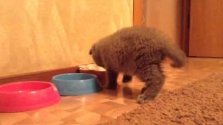 Британский котенок 1,5 месяца