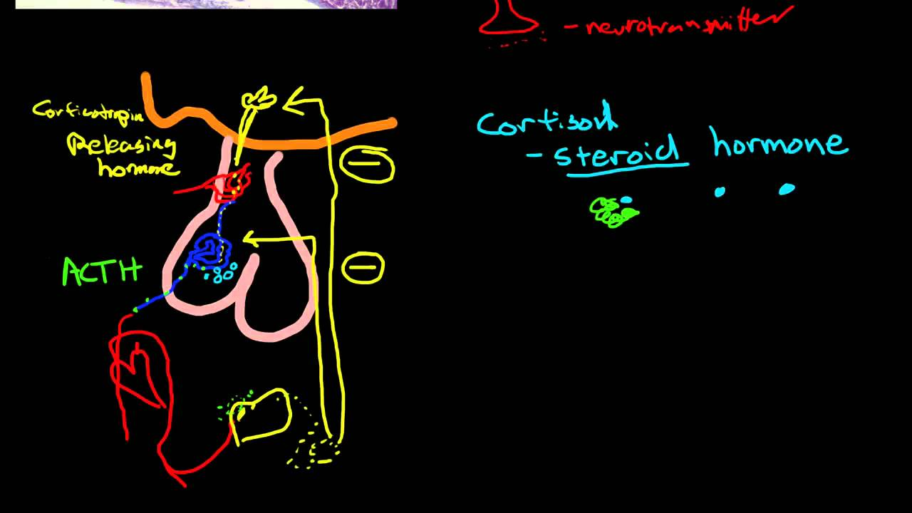 Physiology Of The Adrenal Gland Youtube