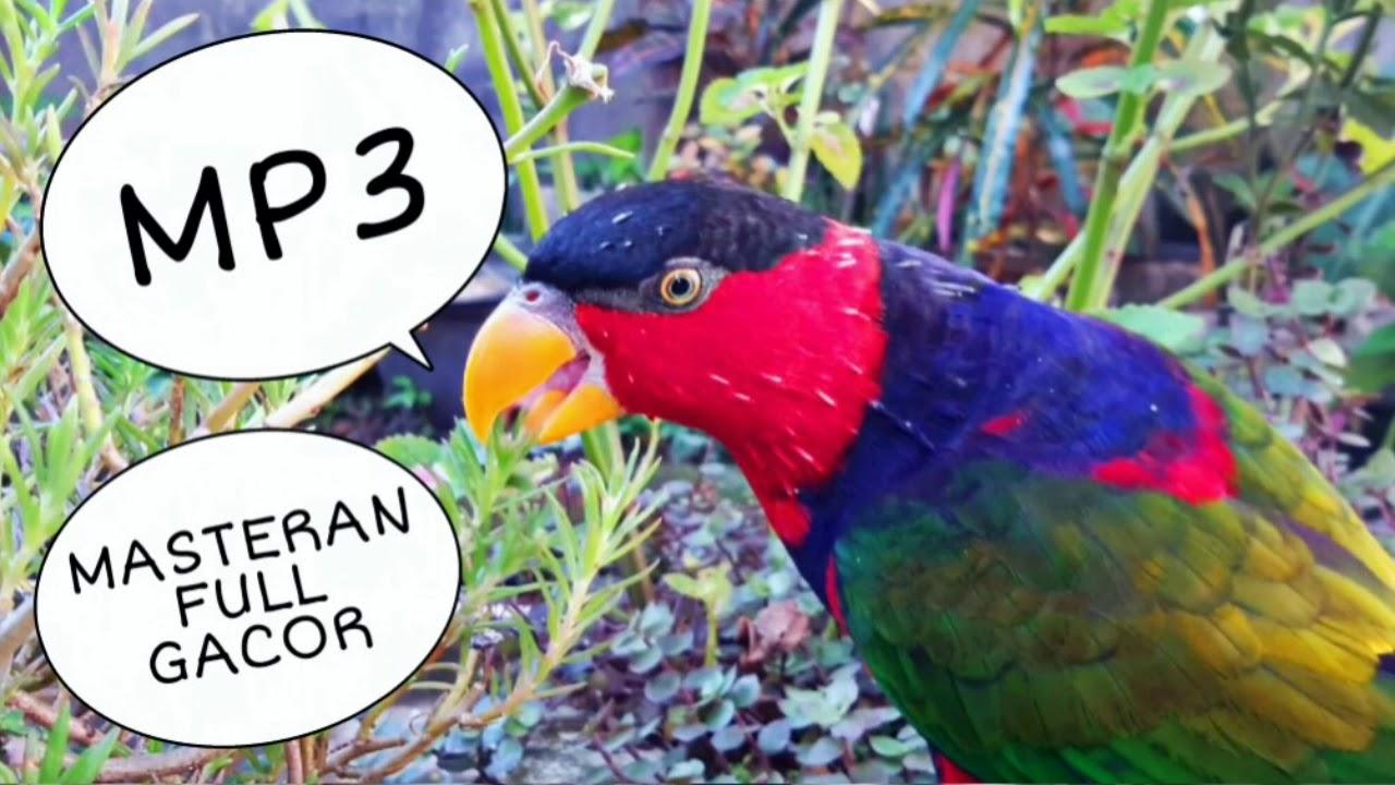 Kicauan Suara Pikat Burung Nuri Kepala Hitam Mp3 Youtube