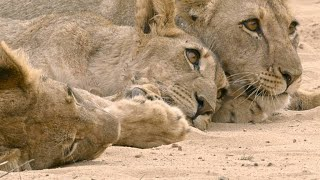 Hostile Lioness Withholds Food from Hungry Orphaned Cubs