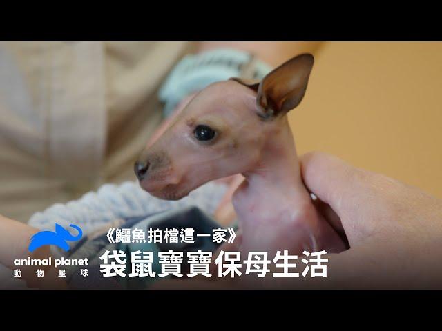 小紅頸袋鼠寶寶的保母生活 動物星球頻道