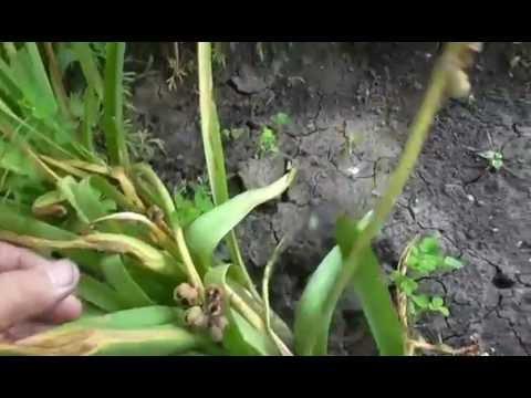 Семена  гиацинтов