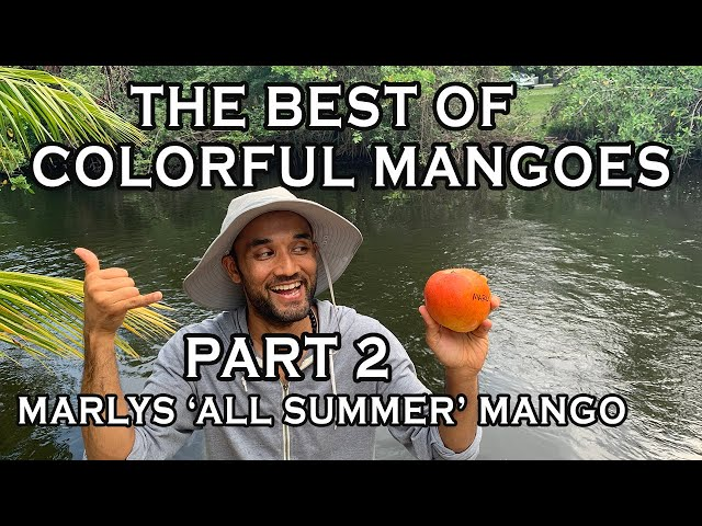 The Best of the Colorful Mangoes of South Florida 2021: Part 2 - MARLYS MANGO