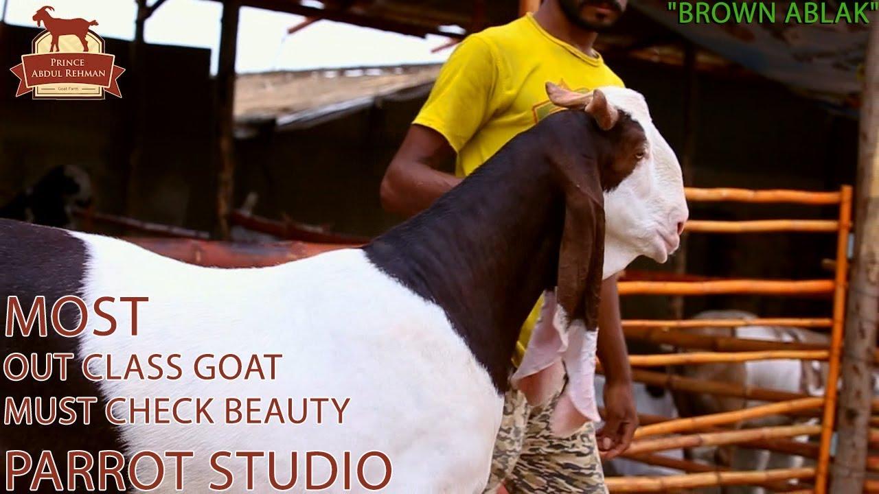 Brown Ablak I Prince Abdul Rehman Goth Farm I Out Class Goat I Expressing  Deep Love I Parrot Studio