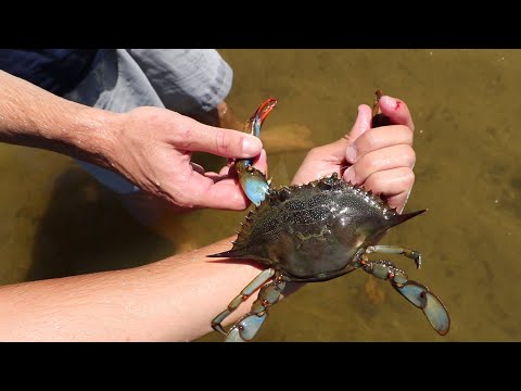 ANGRY MUD-CRAB ATTACK'S AFTER CAPTURE!!
