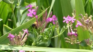 Bumblebee on Sweet William Catchfly トラマルハナバチ♀がムシトリナデシコを訪花採餌