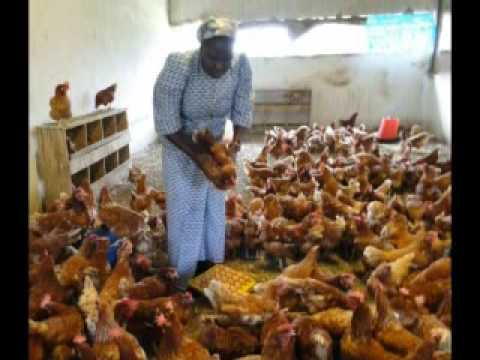 Chickens For Congo