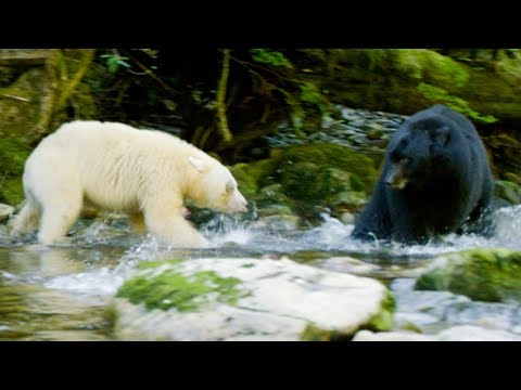 Mother Bear Protects Her Cubs From Bigger Black Bear | Natur
