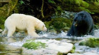 mother-bear-protects-her-cubs-from-bigger-black-bear-natural-world-ghost-bear-bbc-earth