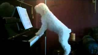 This dog loves to sing and play the piano!