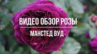 Видео обзор розы Манстед Вуд - Munstead Wood Austin Великобритания 2007