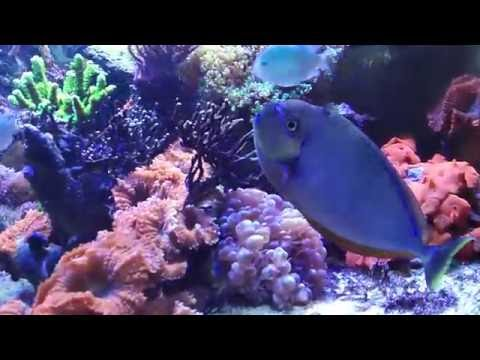 Anemone Suicide Attempt, And New Cowfish Reef Vlog