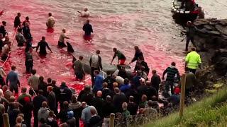 ATT.NE:IMMAGINI FORTI.Massacro di Globicefali alle Isole Faroe. Arrestati volontari di Sea Shepherd.
