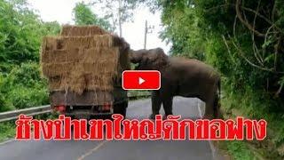 ก็มันหิว ! ช้างป่าเขาใหญ่ดักรถบรรทุกขอฟางกิน 2 ฟ่อน: Matichon TV