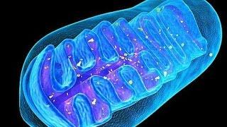 Кратко кислородное дыхание клетки Митохондрии АТФ