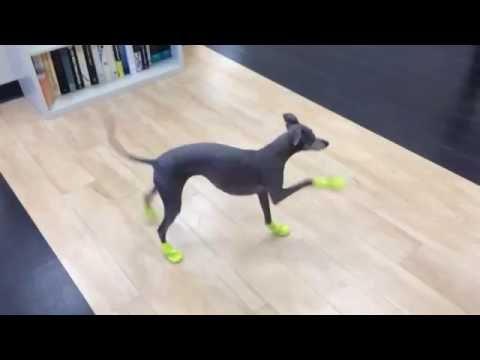 Windhund testet seine neuen Schuhe