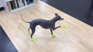 Italian Greyhound's New Boots