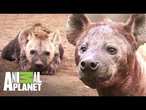 Mamá hiena consigue comida para sus cachorros | Ríos de África | Animal Planet