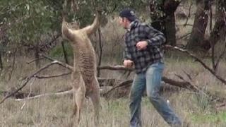 カンガルーは多くの危険に直面しました カンガルーは多くの危険に直面し...